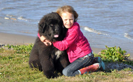 how to do a puppy cut on newfoundland