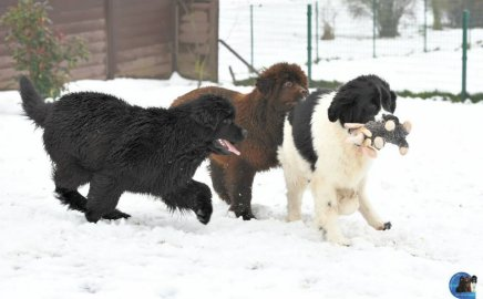 Picture of three Newfoundland puppies playing in the snow.